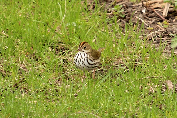 I have never seen an Ovenbird in the backyard before.  Perhaps it saw how much the Flycatcher was enjoying the mealworms and decided to get a few for itself before moving on.