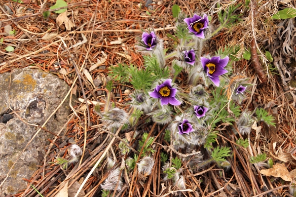 Pasque flowers like the drier, rocky sites between conifers.  You might almost overlook them until the blossoms open to reveal that bright purple interior.