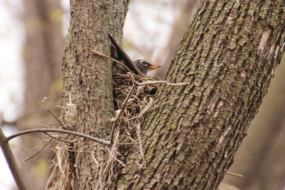 Rpbins build their nests in a variety of places:  bushes, eaves, under decks, but this one chose a fork in a cottonwood about 40 feet up, where it is fairly visible and won't be obscured by tree leaves.  Not a great choice to protect nestlings from predators.