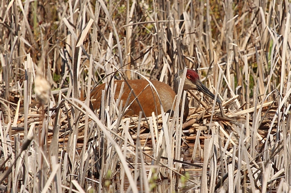 A nesting sandhill crane was still obvious as a brown lump in an otherwise straw colored background.