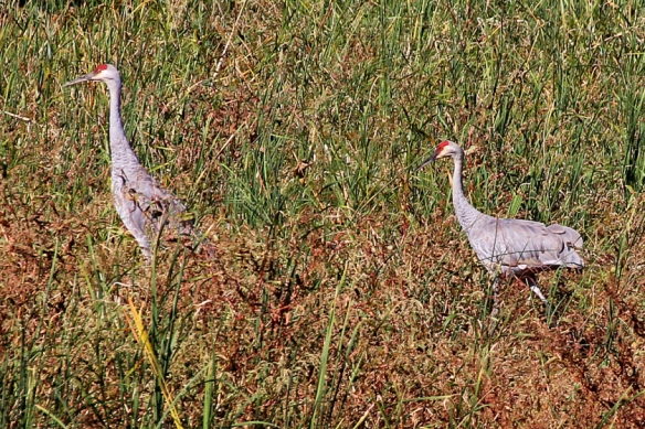 A pari of Sandhill Cranes in their recently molted fall plumage, with gray plumage and red crown feathers.