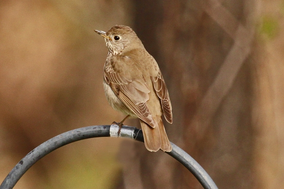Swainson's Thrush may be a plain brown bird with a few streaks down its breast and a buffy ring around its eye. but like other thrush species (except Robins) it has a melodious song.