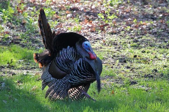 tom turkey displaying to hens