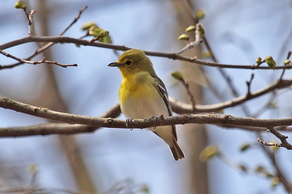 A Yellow-throated Vireo sedately waits on a branch until I can take its photo -- unlike those pesky warblers that flit.