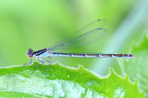 Damselfly ID guides say that the Northern Bluet is highly variable in its blue color pattern.  But this must be another species, and its color pattern doesn't match any of the MN damselfly species.  Help me out here, if you know what this is.