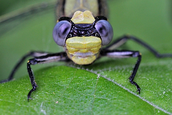 The Horned Clubtail dragonfly face resembles a monkey's, with its widely spaced goggle eyes and big broad lips.