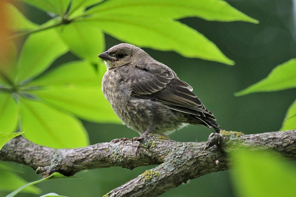 Cowbird chick waiting patiently (?) for its foster parent to return with something good to eat.