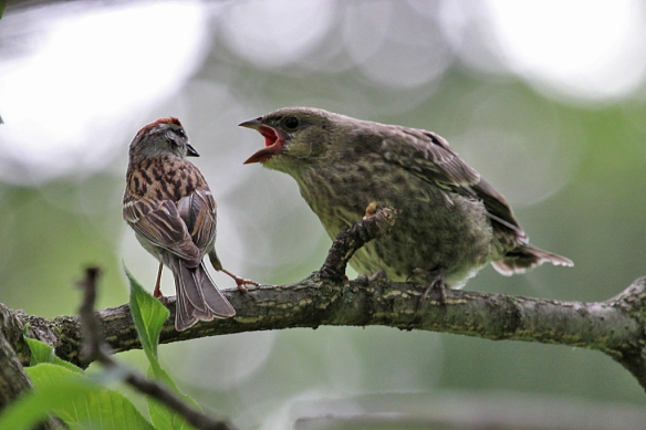 Then a foster parent arrives and the cowbird chick goes into a frenzy, fluttering its wings and tail, chirping loudly.  The Chipping Sparrow looks little intimidated, doesn't it?