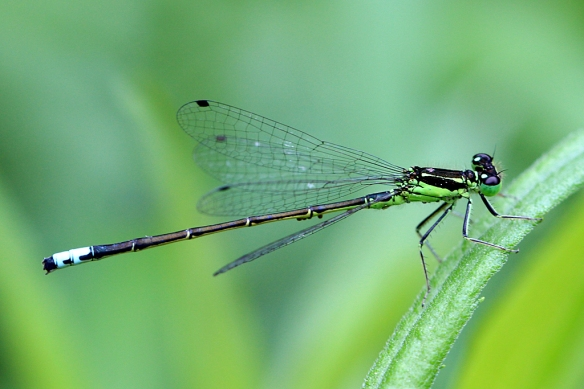 Eastern Forktail Damselfly males were found right alongside the Bluets.  Their distinctive green and black thoracic stripes and bright blue spot at the end of the abdomen, as well as slightly larger size, distinguished them from the more common bluets.
