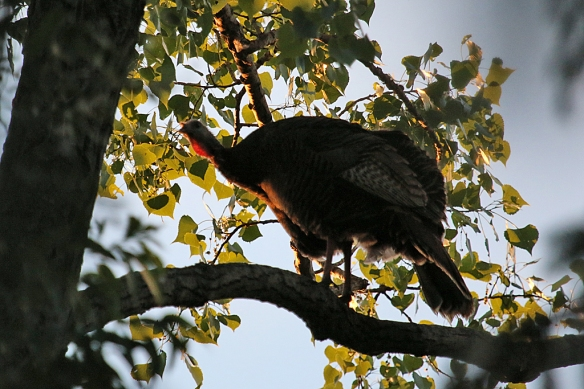 I finally found one of the hens -- about 80  feet up in a giant cottonwood on a nice horizontal branch.  She paced back ad forth trying to find just the right spot to settle down for the night.