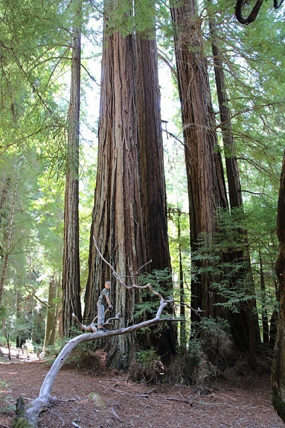 """My grandson climbed a downed branch for a """"higher"""" view of the redwood."""