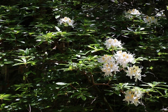 Giant tree-like azaleas thrive in the moist, cool micro environment of the redwood forest.