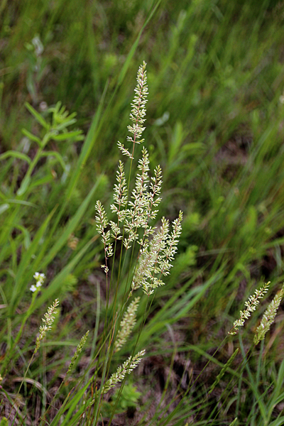Junegrass is one of the early blooming native grasses on the prairie.   Because it blooms early, it is especially sensitive to grazing pressure.  Other, taller native grasses won't bloom for another month or more.