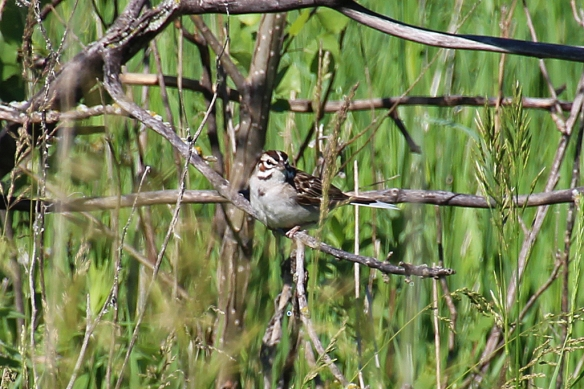 I flushed a Lark Sparrow from the ground and was certain it was sitting on a nest there, but couldn't find it.  The bird sat in a tree 100 feet away and chipped at me.