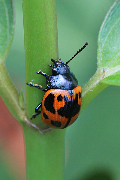 Milkweed leaf beetles are vegetarian -- they prefer the leaves and flowers of just about any milkweed species.