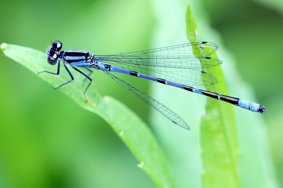 Male Northern Bluets are easily recognized by their striking blue patterned bodies.  Fortunately, Minnesota is home to only three bluet damselfly species, making ID a little easier.