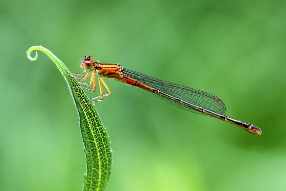 An Orange Bluet male.... really!  This is not your everyday blue Bluet.