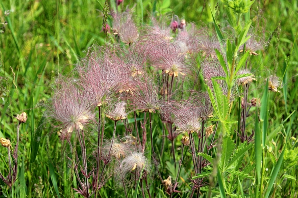 Two weeks later, the flowers have transformed into the wispy tails for which the plant was named.