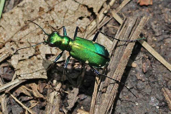 Their metallic green cuticle covering is hard to miss, especially when they are crawling around on bare ground looking for the errant ant, spider, etc.
