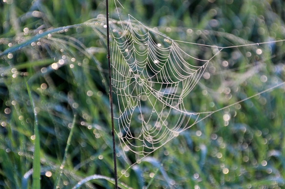 Spiderwebs lit up in the early morning sun somehow survived the torrential overnight rain  storm.