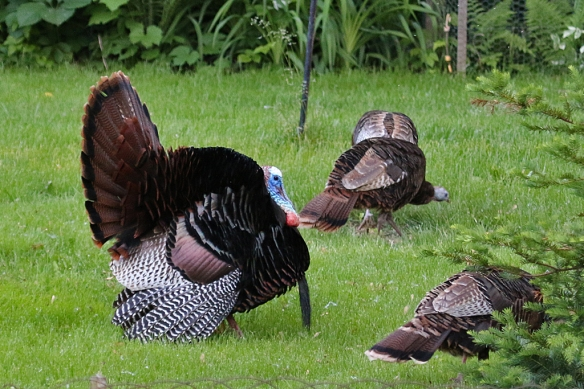 Tom Turkey still struts his stuff, on a daily basis, morning and evening.  This time there were three hens ignoring him.