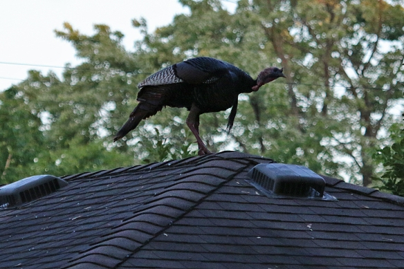 He bobbed his head up and down, paced back and forth on the roof, and suddenly took off.