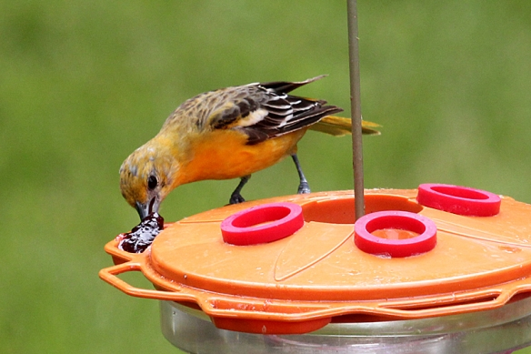 Molting male Baltimore Oriole eating grape jelly