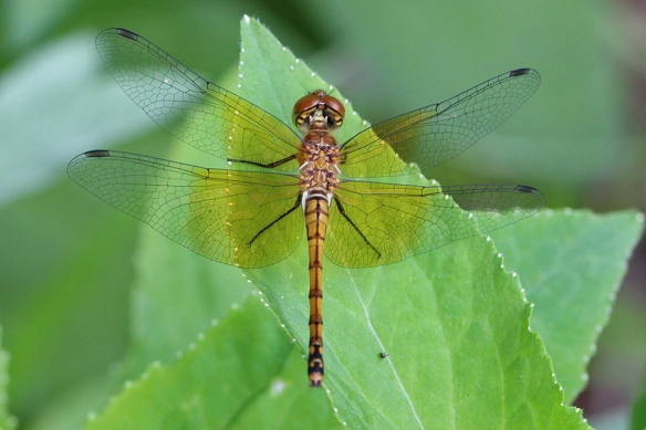 The Band-winged Meadowhawk is aptly named for the amber patches on its wings.