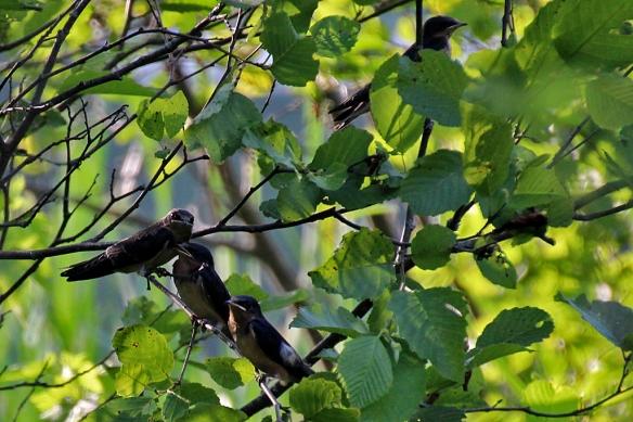 Barn Swallow fledglings