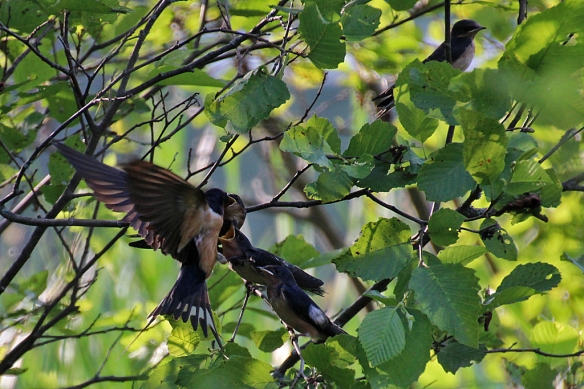 Barn Swallow fledglings being fed by a parent