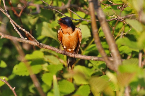 Barn Swallow male, singing