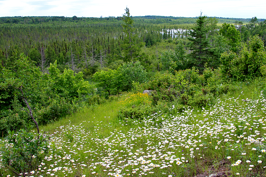 In the low areas at the base of the hills, black spruce and tamarack are the dominant species found in the bogs.