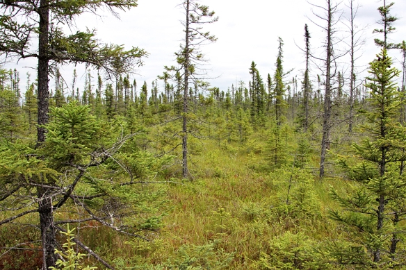 Big Bog, a black spruce bog near Red Lake MN