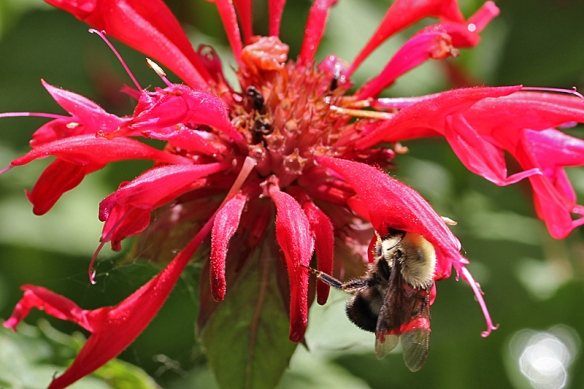 Bumblebee obtaining nectar from Scarlet Beebalm