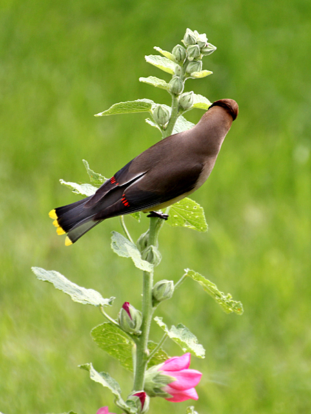 A Cedar Waxwing jumped down to one plant to inspect the beetle congregation but left without taking one.