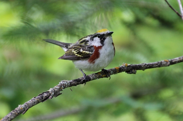 A Chestnut-sided Warbler with attitude.