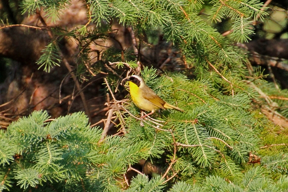 I didn't get much of a look; this was the only shot I took of a Common Yellowthroat Warbler.