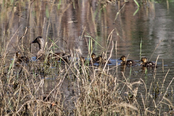 Mallard ducklings in a row behind the hen