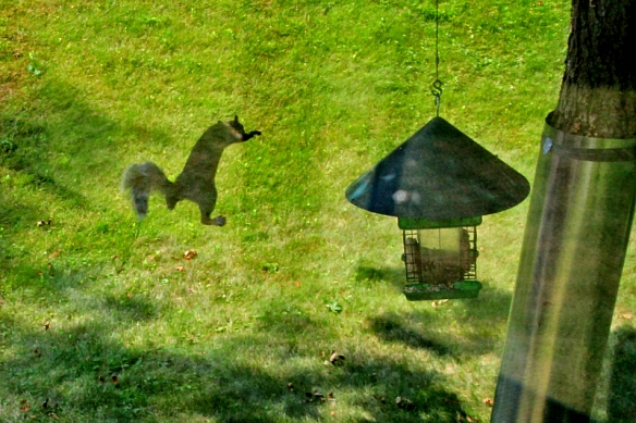 flying gray squirrel