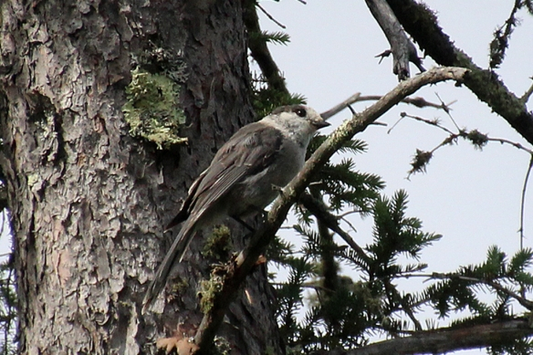 Gray Jays replace Blue Jays in the mixed forest.
