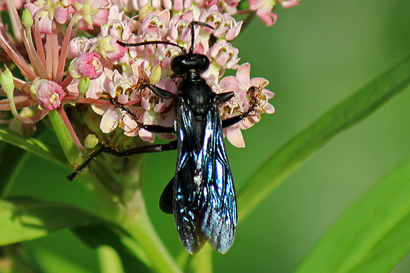 great-black-wasp