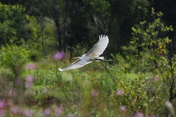 great egret flying over the marsh