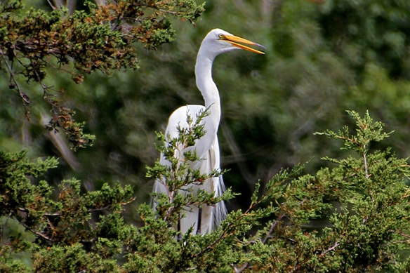 great egret panting