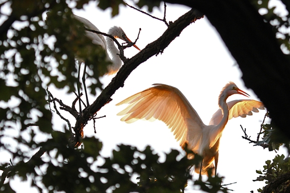 great egrets coming into roost at sunset