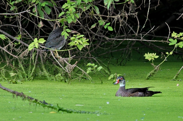 Juvenile Green Heron and male Wood Duck in eclipse plumage