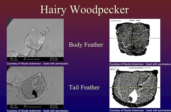 hairy woodpecker tail cross section-from http://ocw.mit.edu/courses/materials-science-and-engineering/3-a26-freshman-seminar-the-nature-of-engineering-fall-2005/projects/wp_tail_feathev1.pdf