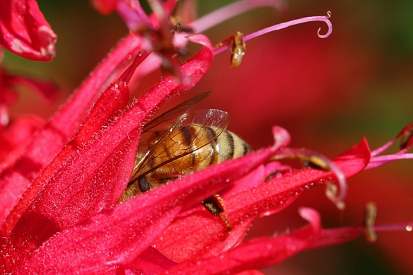 Honeybee obtaining nectar from Scarlet Beebalm