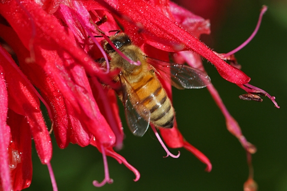 Honeybee obtaining nectar from scarlet beebalm