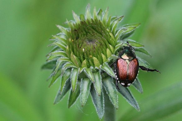 The dreaded Japanese Beetle invasion is about to start again.