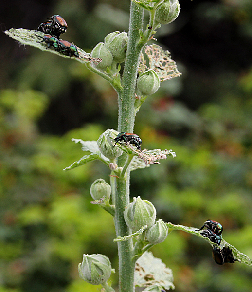 japanese beetles on hollyhock
